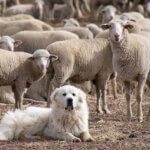 Evangelist is the Lord's Sheep Dog